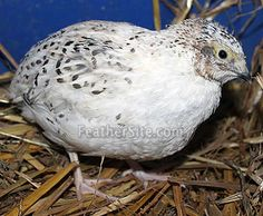 Snowy Japanese or Coturnix Quail. I would love to get some different color varieties this time around!