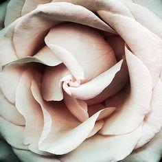 Musk rose