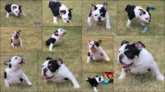 Pet Birth Defect Awareness Day: Meet Bonsai, 'Half A Bulldog, Twice The Love' (PICTURES) : Leisure : Headlines & Global News