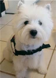 Westminster dog show West Highland White Terrier
