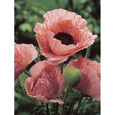 Passionsblume (frostverträglich) | Grünpflanzen | Pflanzen | Der ... Schone Passionsblume Pflege Tipps Zimmerpflanzen