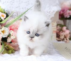~ Ultra Rare Persian Kittens For Sale - - Located in Northern Missouri (Shipping Available) Persian Kittens For Sale, Kitten For Sale, Missouri, Cats, Animals, Gatos, Animales, Animaux, Animal