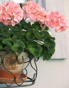 A Pink Pelargon ~ better known as a pink geranium...