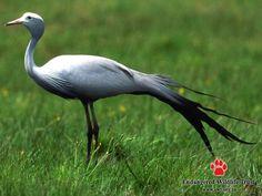 South African National Bird - blue crane