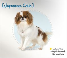 Did you know that, despite the Japanese Chin's name, China, not Japan, should be given the credit for this unique breed? Read more about this breed by visiting Petplan pet insurance's Condition Checker!