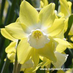 Altun Ha Daffodil