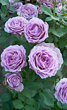 "Rose "" Novalis ® "" , (KORfriedhar) , bred by Tim Hermann Kordes (Germany, Lavender Roses, Purple Roses, Beautiful Red Roses, Beautiful Gardens, My Flower, Pretty Flowers, Floribunda Roses, Blossom Garden, Rose Photos"