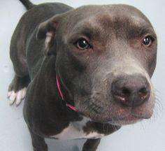 *DAMSEL-ID#A670770    Shelter staff named me DAMSEL.    I am a female, blue Pit Bull Terrier.    The shelter staff think I am about 7 months old.    I have been at the shelter since Sep 06, 2012.