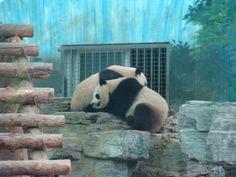 The Olympic Pandas @ Beijing Zoo in Beijing China