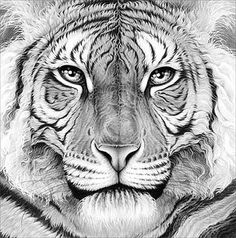 Pencil Drawing of a tiger by Gary Hodges
