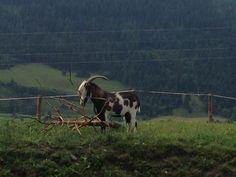 Ziegen findet man bei einem Bauernhofurlaub in Österreich