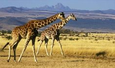 giraffes - not only a beautiful majestic animal but also a good print for a purse ;)
