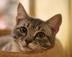 Dani is an adoptable Domestic Short Hair Cat in Somis, CA. Dani is a sweet and playful light gray mackrel tabby. She is slightly shy with new people, but she purrs loudly as soon as you pet her. She...