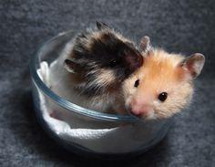 Syrian hamster black Tortoiseshell satin longhaired &yellow satin shorthaired 生後31日