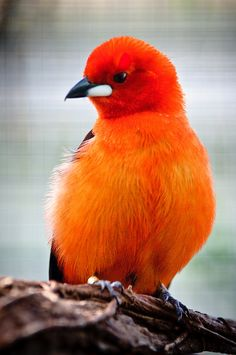 Brazilian Tanager (Ramphocelus bresilius) by Sergiu Bacioui via birdnut.wordpress #Photography #Birds #Brazilian_Tanager