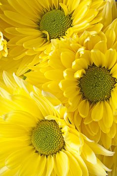 Three Yellow Daisies Photograph by Garry Gay - Three Yellow Daisies Fine Art Prints and Posters for Sale