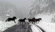 Wild horses. A herd of black horses crossing the winter snow road. Strikingly beautiful horse photography. Snow covered trees like a dream.