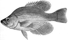fish silhouette patterns | Crappie