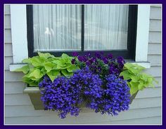 lobelia - one of my favorite shade flowers:) window box Window Box Plants, Window Box Flowers, Shade Flowers, Window Boxes, Shade Plants, Flower Boxes, Lobelia Flowers, Buy Plants, Purple Flowers