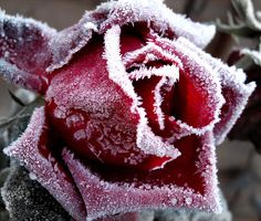 frost covered rose