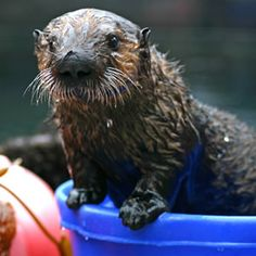 Watch the live Otter Cam as well as others like the Penguin, Kelp Forest, Open Sea, Aviary and Monterey Bay live Cams
