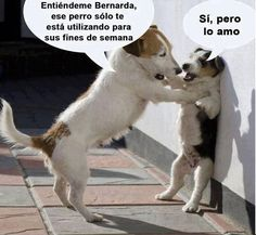 41 Ideas for memes de amor chistosos chistes Funny Animal Memes, Funny Dogs, Funny Animals, Cute Animals, Funny Images, Funny Pictures, Dog Quotes Love, Dapple Dachshund, Kid Memes