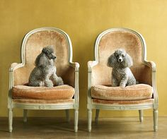 Fancy Poodles... Joe Grisham photography