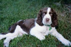 Springer Spaniel Young Pup