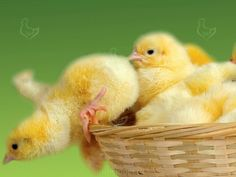 Любой владелец домашнего хозяйства, занимающийся выращиванием кур и выведением цыплят на своем участке, сталкивается с проблемой смертности маленьких пернатых питомцев.  http://kurinyjdom.ru/razmnozhenie-kurits/vysokaya-smertnost-tsyplyat-v-chem-prichina.html