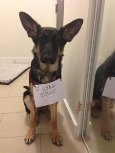 "Five month old German Shepherd Liza - ""THOSE EARS"""