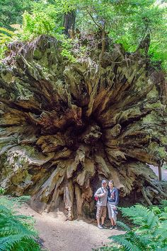 Avenue of the Giants - Humboldt Redwoods by EverInTransit, via Flickr