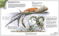 """People always say """"Make what you love."""" Well this little newt brings so many happy memories to my mind.  I remember being eight years old when I parents got a place in NH.  No TV. No plumbing. Just the forest. They gave me a 5""""x7"""" pocket field guide called """"Reptiles and Amphibians of North America""""; they wanted to make sure I knew what a copperhead looked like.  My parents took me hiking and an overturned log later I saw a brilliant orange newt. I remember being stunned that this beautiful…"""