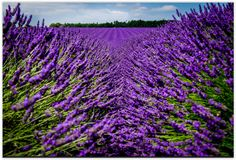 THROUGH THE LAVENDER - The popular lavender fields at Snowshill.