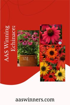 Grow these AAS Winning Echinacea to attractive birds, bees, and butterflies to your garden. Echinacea is generally deer resistant. Because of their root structure, the plants are drought tolerant and can withstand heat and wind. Used in garden borders or backgrounds, Echinacea adds color and texture for a wildflower or prairie-style garden. Types Of Flowers, Cut Flowers, Wild Flowers, Seed Raising, Root Structure, Overwintering, Drought Tolerant Plants, Garden Borders, Perennials