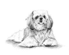 The #ShihTzu sketch, hand drawn graphite pencil portrait done by #pet artist Genevieve Schlueter. Prints available or commission a piece of your #furbaby at http://www.gensart.net