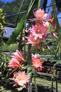 Thousand Pinks Orchid Cactus, Epiphyllum, Epicactus