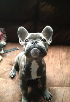 puppy bulldog! When we get into our new house I am getting a French bulldog puppy