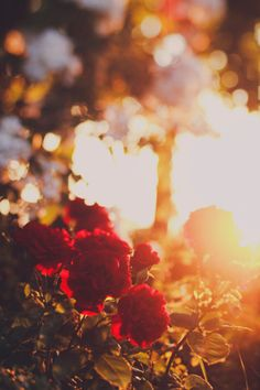 Red roses on a rosebush in full bloom, in a garden at sunset. Royalty-free Image: Red roses at sunset Beautiful Red Roses, Beautiful Flowers Wallpapers, Cute Wallpapers, Nature Pictures, Cool Pictures, Beautiful Pictures, Aesthetic Images, Aesthetic Wallpapers, Rose Photography