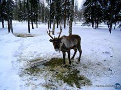 Séjour linguistique en Laponie avec le CEI  #Laponie #Lapland #CEI #voyage #travel #sejourlinguistique #winter #nature #snow #renne #reindeer