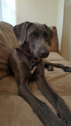 Blue Lacy Dog, Rufus