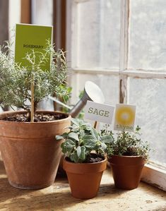 """Rosemary, Sage, Thyme - these herbs can get through the winter """"well watered in pots on a sunny windowsill, but put them outdoors in the spring for best growth."""" Depending on where you live, your herbs may be able to spend the winter outdoors. House Plant Care, House Plants, Sage Plant, Thyme Plant, Best Indoor Plants, Indoor Herbs, Edible Plants, Potted Plants, Herb Plants"""