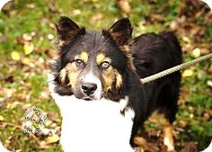 Zanesville, OH - Australian Shepherd Mix. Meet Briar - Urgent! a Dog for Adoption.