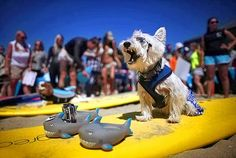 Is that a West Highland Terrier on a surfboard? See how these California dogs are heating the waves in the #surfdogcompetion.