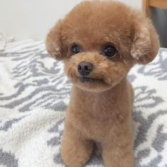 Everything About The Athletic Poodle Puppy Personality Giant Poodle, Grey Poodle, Poodle Mix, Poodle Grooming, Pet Grooming, Toy Puppies, Cute Puppies, Poodle Puppies, Chocolate Poodle