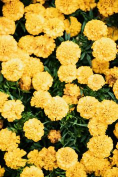 Field of Marigold Sunny Mood Boost The post Field of Marigold appeared first on Easy flowers. Rainbow Aesthetic, Nature Aesthetic, Flower Aesthetic, Pink Aesthetic, Nature Photography Flowers, Mellow Yellow, Vintage Yellow, Marigold, Pretty Flowers