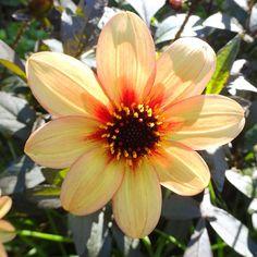 #picoftheday #bzh #bretagnetourisme #breizh #sea #ete2015 #soleil #ete #summer #botanique #combrit #fleur #fleurs #flowers #flower #couleur #couleurs #color #colors #bretagne #nofilter #pasdefiltre #finistere