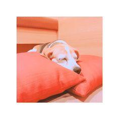 わんわんパラダイス伊勢の旅❶ 可愛すぎるずーっと見てられる💕 慣れないところきてきっとすごく疲れたと思うけど、川一緒に入ったりご飯も一緒に食べていい思い出🐶💕🌊大好き💕💕 #dog#beagle#はな#華#hana#わんわんパラダイス#伊勢#伊勢旅行#家族旅行#ペット旅行#わんパラ#愛犬#飼い主バカです#可愛すぎる