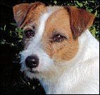 Claddagh's Lil Bit O' Moxie of DBF Russell Terriers, home-based breeder of shorty jacks