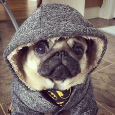 Social Pug Profile | Batman http://www.thepugdiary.com/social-pug-profile-batman/