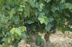 Visitar un viñedo de mas de 60 años de edad es todo un espectaculo